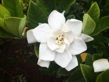 Den vita gardeniablomman blommar på busken med den bra lukten royaltyfri illustrationer