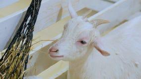 Den vita geten äter hö i lantgård Arkivfoton