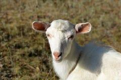 Den vita geten på en sommar betar Arkivbild