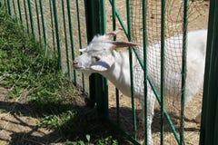 Den vita geten ser ut bakifrån ett staket på en lantgård, den vita geten på boskaplantgårdar, djur royaltyfri bild