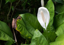 Den vita härliga kolvblomman vet som svans-blomman Fotografering för Bildbyråer