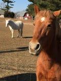Den vita hästen är min flicka Royaltyfri Bild