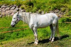 Den vita hästen Royaltyfri Bild