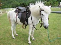 Den vita hästen Royaltyfri Fotografi