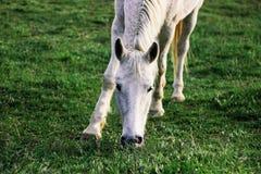 Den vita hästen betar på en grön äng, vår royaltyfri bild