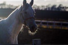 Den vita hästen i inställningssolen royaltyfri bild