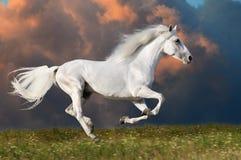 Den vita hästen kör på den mörka skybakgrunden Arkivfoton