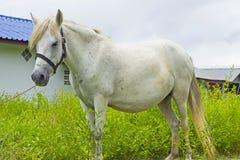 Den vita hästen knaprar på grässlätt Arkivfoton