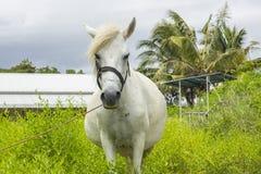 Den vita hästen knaprar på grässlätt Royaltyfri Bild