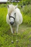 Den vita hästen knaprar på grässlätt Royaltyfria Foton