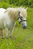 Den vita hästen knaprar på grässlätt Arkivbilder