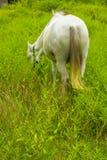 Den vita hästen knaprar på grässlätten - tillbaka sida Arkivfoton