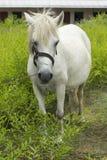 Den vita hästen knaprar på grässlätten - tillbaka sida Arkivfoto