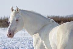 Den vita hästen med blåa ögon och den rosa näsan står på ett snöig fält Arkivfoton