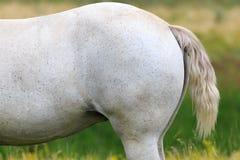 Den vita hästen på sommar betar Arkivbild