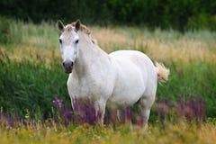 Den vita hästen på sommar betar Royaltyfri Bild