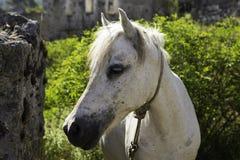 Den vita hästen som ser kameracloseupen i en spökstadby Kayakoy, fördärvar Royaltyfri Fotografi