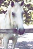 Den vita hästen står i fållan Royaltyfria Bilder