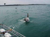 Den vita hajen Arkivfoton