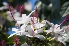 Den vita hibiskusen blommar med lång referens-ståndare i trädgård arkivfoton
