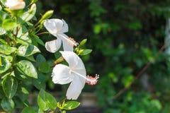 Den vita hibiskusen med bladet Royaltyfri Foto