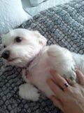 den vita hunden får mageruben Royaltyfri Fotografi