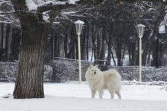 Den vita hunden går på en snöig dag royaltyfri fotografi