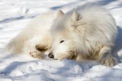 Den vita hunden samoyeden har en vila på snö Arkivbilder