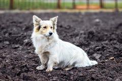 Den vita hunden sitter på den plogade jordningen i mitt av fien royaltyfri fotografi