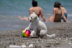 Den vita hunden spelar med en boll på stranden royaltyfri foto