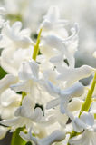 Den vita hyacinten blommar makro Royaltyfria Bilder