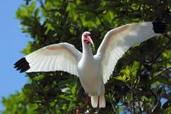 Den vita ibits sätta sig på en filial i en Florida våtmarker Royaltyfri Foto