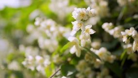 Den vita jasmin blommar i soligt väder stock video