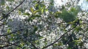 Den vita körsbäret blommar i trädgården stock video