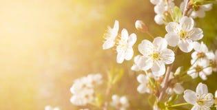 Den vita körsbäret blommar med utrymme för text på orange bakgrund Royaltyfria Foton