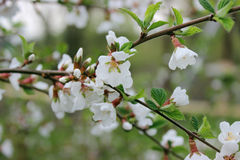 Den vita körsbäret blommar tätt upp på våren i trädgården royaltyfri bild