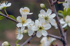 Den vita körsbäret på filialen kan ses på våren eftermiddagen arkivbilder