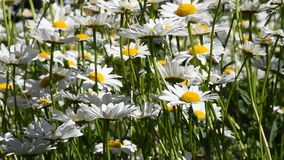 Den vita kamomilltusenskönan blommar i vindslut upp stock video