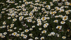 Den vita kamomilltusenskönan blommar i vindslut upp arkivfilmer