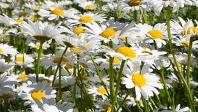 Den vita kamomilltusenskönan blommar i vindslut upp lager videofilmer