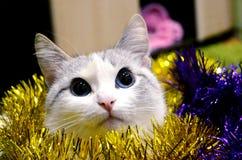 den vita katten är i julgarneringen med härliga stirranden för blåa ögon någonstans Arkivfoto
