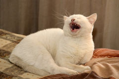 Den vita katten Royaltyfria Foton