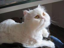 Den vita katten Arkivbild