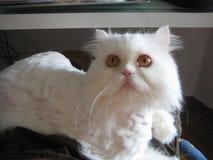 Den vita katten Royaltyfri Bild