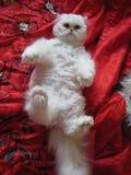 Den vita katten Arkivfoto