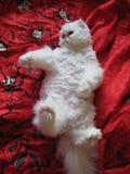 Den vita katten Arkivbilder