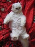 Den vita katten Royaltyfri Foto