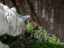 Den vita katten fångade en mus i gräset royaltyfri foto