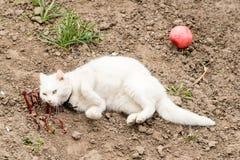 Den vita katten som spelar med en boll i trädgården, loppa förser med krage arkivfoton