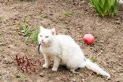 Den vita katten som spelar med en boll i trädgården, loppa förser med krage royaltyfri bild